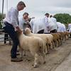 Worcester Sheep F005