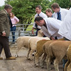 Worcester Sheep F007