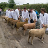 Worcester Sheep F006