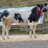 The crossbred champion, a British Blue x British Blue heifer from M. Jones sold for £2,800.