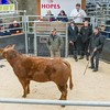 Champion in the ring a limousin heifer sold for £1220 to judge Geoff Bell Far Broom Long Marton Cumbria from Messrs Moore (Freddy Moore) Highside,Kellah, Ulverston, Cumbria