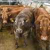 Store Cattle from Messrs Dickinson Low House Heskett Newmarket Caldbeck Wigton