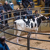 The top priced bull at 2,050 gns, Stardale Soloman from J. Burrow and Son of Barton, Preston, Lancashire.