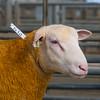 Welshpool Muiti Breeds 064