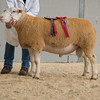 The champion Berrichon, a yearling ram from TM. R. Williams of Tregwynt, Three Ashes.