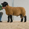The top price Suffolk at 1,000 gns, a ram lamb from P. Delves of Churchstoke.