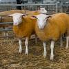 Welshpool Muiti Breeds 063