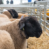Welshpool Muiti Breeds 065