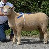 Dorset H & P Sheep Worcester 8.7.17
