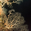 basket stars, from the brittle starfish family.