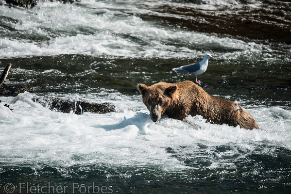 Hunting for salmon