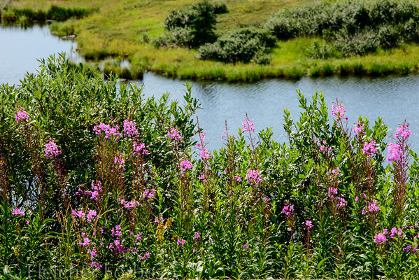 """The flower is called """"fireweed"""" because after a fire, it is the first plant to come back. We saw it all through Denali."""