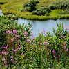 "The flower is called ""fireweed"" because after a fire, it is the first plant to come back. We saw it all through Denali."