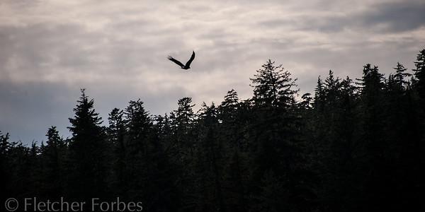 Eagle at dusk.