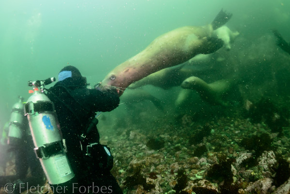 Seriously large and aggressive stellar sea lions. Just coming out to play!