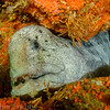 And another first! We're told the wolf eel is not actually an eel, and has a face only a moth... well, you know.