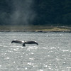 humpback whale tailing.