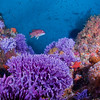 Farnsworth Bank, purple hydrocoral