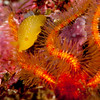dendrodoris fulva & spiny brittle star