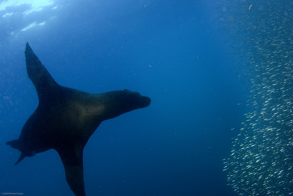 sea lion chasing anchovies