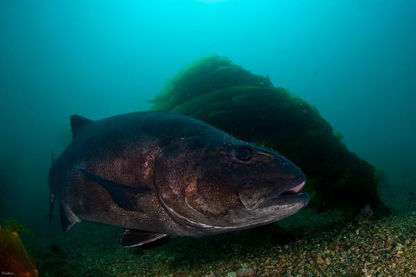 Catalina Island, black sea bass