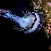 pelagic colorata