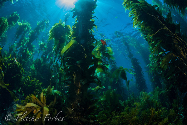 Kelp forest at Ship Rock, Catalina Is.