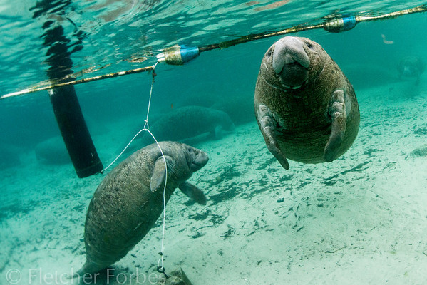 A large area in the springs is roped off to humans, giving the manatees a sanctuary to sleep and be by themselves. These two have ventured out to see the funny looking people. One is fascinated with the buoy rope.