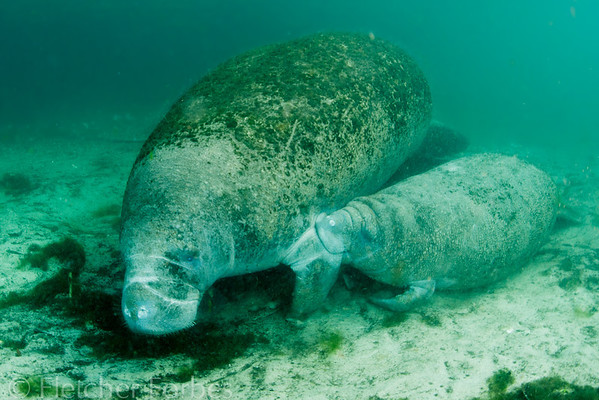 """This calf is nursing his mother, which for manatees is under her flipper. """"My, what a beautiful baby!"""""""