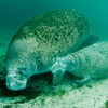 "This calf is nursing his mother, which for manatees is under her flipper. ""My, what a beautiful baby!"""