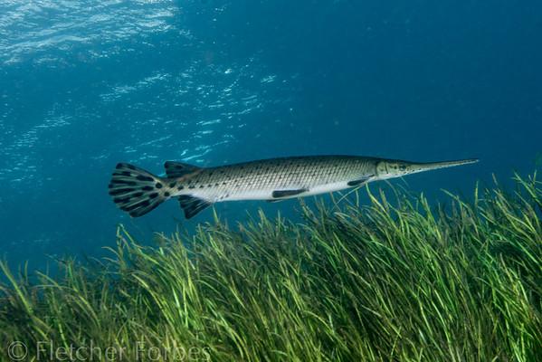 Aligator gar in the Rainbow River, a freshwater fish.