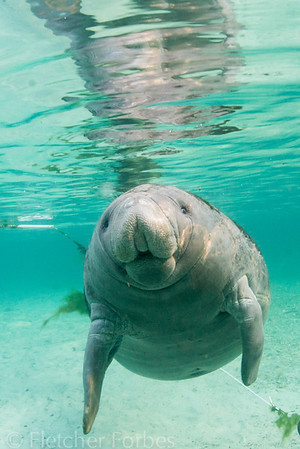 A curious manatee looking me over.