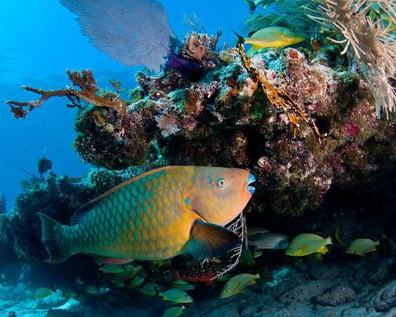 parrotfish, snapper ledge