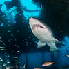 Sand tiger on the Aolus
