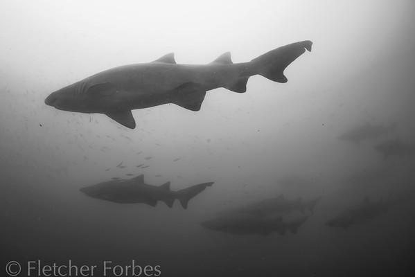 sharks swimming above the wrecks.