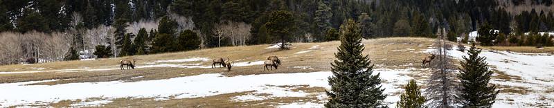 A Pano of Elk