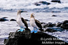 Blue-footed Boobie pair, Galapagos Islands