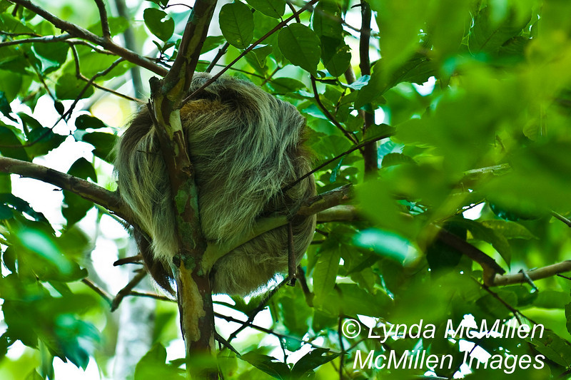 """As the local pointed into the tree he says to me in broken english, """"see sleeping 'bear'?"""".  This is a balled up sloth which is in the same familiy of animals as armadillos."""