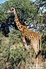 Masai Giraffe distinguished by its irregularly shaped spots.