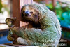 The sloth is in the same family of animals as ant-eaters and armadillos.