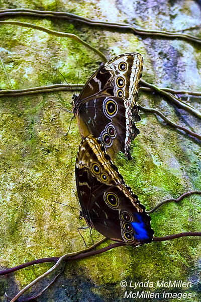 "The blue ""back"" of the right wing peeks through the damages left wing of this colorful butterfly."