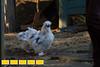 140115LIajc030214chickens-mcbrideLRO-0008