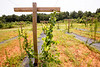 King of Crops is a working farm still in its beginning stages.  Stephen Dobek manages the farm in Winston, GA where ingredients for King of Pops will be sourced, including theses muscadine grapes.  Some crops, like basil and blackberries, already are part of the pops production.  (Jenni Girtman / Atlanta Event Photography)