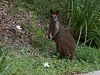 Swamp Wallaby  by my drive