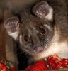 Common Ringtail Posssum