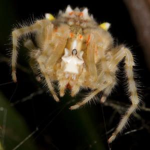 Ambush Spiders