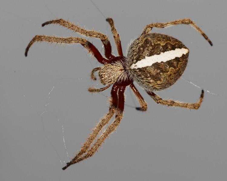 Garden Orb Spiders steveaxford