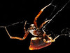 Uloboris congregabilis.  Humped spider