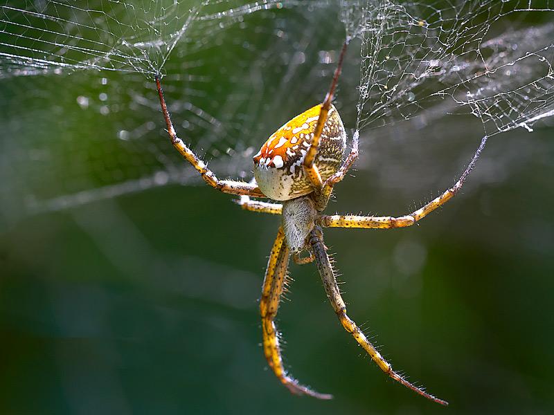 Just hanging around.  Tent spider in Vanuatu