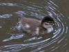 Wood Duck chick